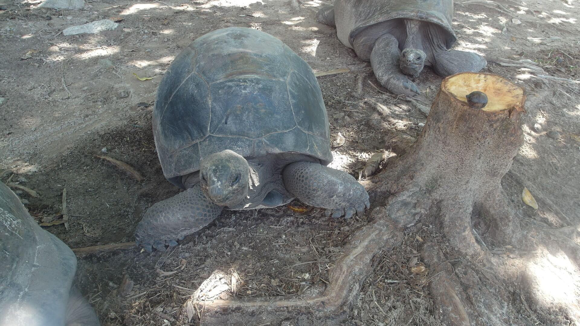 Die Riesenschildkröten der Seychellen